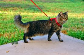 Can You Walk Stray Cats On A Leash